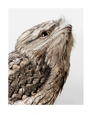 'Lady' Tawny Frogmouth by Leila Jeffreys contemporary artwork