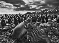 Southern Elephant Seal Calves at Saint Andrews Bay, South Georgia by Sebastião Salgado contemporary artwork photography