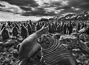 Southern Elephant Seal Calves at Saint Andrews Bay, South Georgia by Sebastião Salgado contemporary artwork