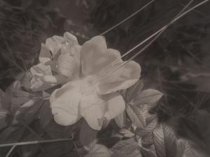 Rose by Gunnel Wåhlstrand contemporary artwork