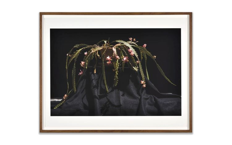 Luciano Perna, April 22, 2020, 6:46, Schlumbergera (2020). Inkjet on Hahnemuhle photo rag paper. Print: 43.2 x 55.9 cm. Frame: 47.6 x 60 cm. Edition of 5 + 2AP. Courtesy Marian Goodman Gallery.