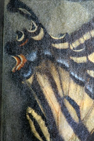 Pterourus rutulus, (Western Tiger Swallowtail), glassine by Fiona Pardington contemporary artwork