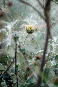 Lamiaceae Phlomis fruticosa by Samuel Zeller contemporary artwork photography