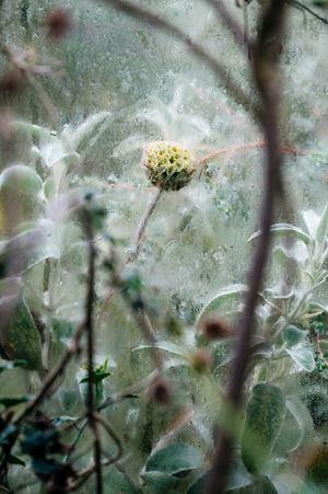 Lamiaceae Phlomis fruticosa by Samuel Zeller contemporary artwork