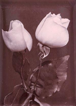 White Roses by Charles Jones contemporary artwork