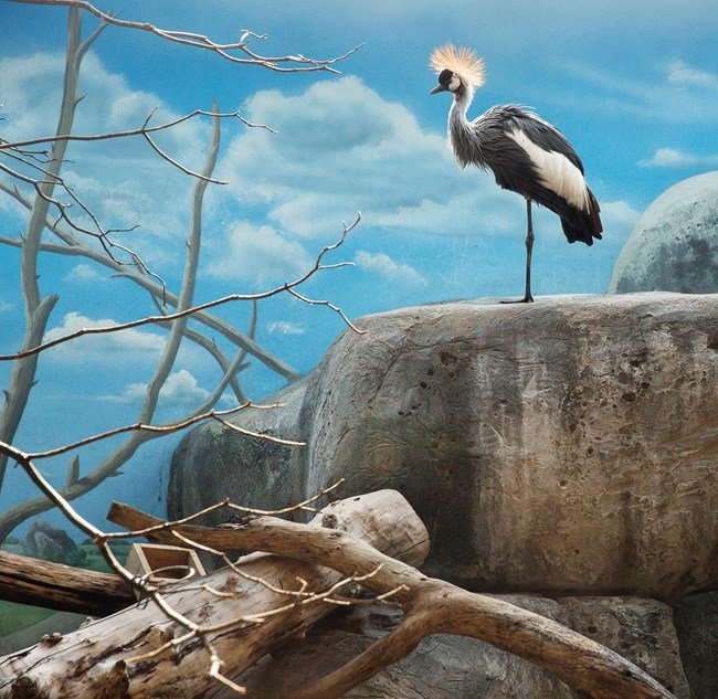 Black crowned crane and rocks by Eric Pillot contemporary artwork
