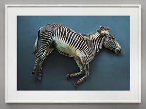 Zebra (Equus grevyi), Leibniz IZW, Berlin by Thomas Struth contemporary artwork