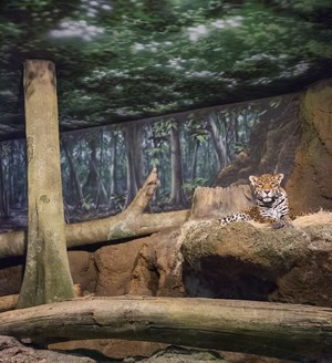 Jaguar and forest by Eric Pillot contemporary artwork