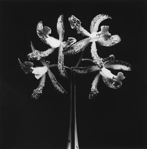 Orchids by Robert Mapplethorpe contemporary artwork