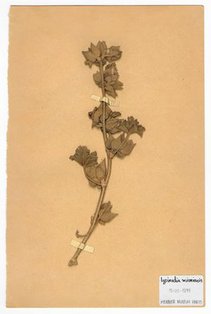 The Extinct Flora in Spain (Sketches) 011. Lysimachia minoricensis by Juan Zamora contemporary artwork