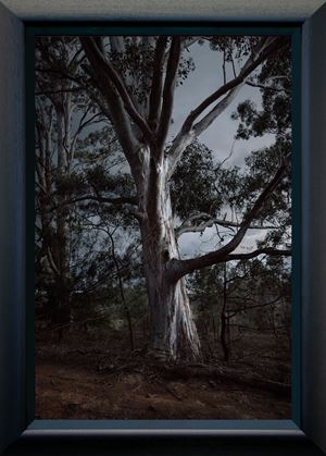 Tree (framed) by Anne Noble contemporary artwork