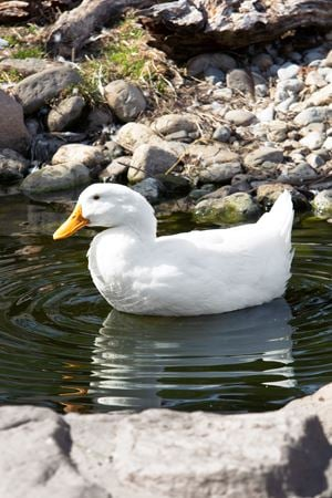 White Duck by Roe Ethridge contemporary artwork