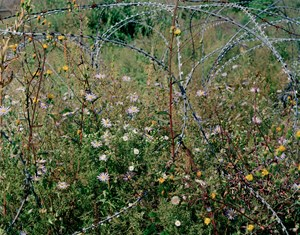 Entwined barbwire and flowers (near DMZ, Cheorwon, South Korea),2015 by Tomoko Yoneda contemporary artwork