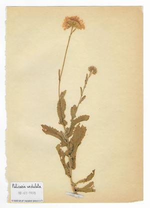 The Extinct Flora in Spain (Sketches) 018. Pulicaria undulata by Juan Zamora contemporary artwork