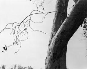 Eucalyptus, Fontana, California by Robert Adams contemporary artwork