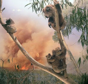 Koala, Yarra River at Woori Yallock, Victoria by Anne Zahalka contemporary artwork