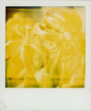 Untitled (Tulips) by Walter Schels contemporary artwork photography