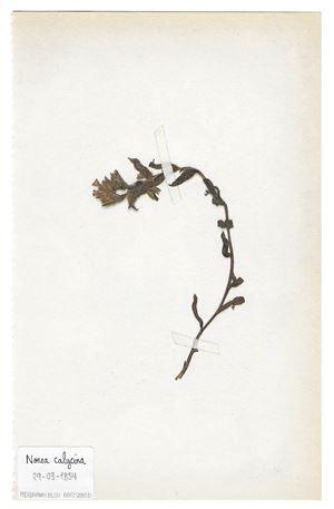 The Extinct Flora in Spain (Sketches) 017. Nonea calycina by Juan Zamora contemporary artwork