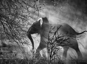 Kafue National Park, Zambia (elephant against light) by Sebastião Salgado contemporary artwork