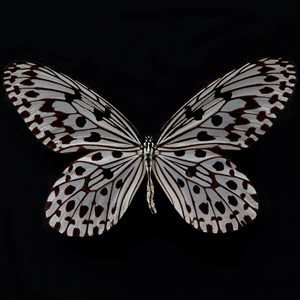 Butterfly #13 by Krisada Suvichakonpong contemporary artwork