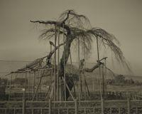 Shinden no Ooitosakura by Keiichi Ito contemporary artwork works on paper, photography
