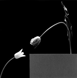 Two Tulips by Robert Mapplethorpe contemporary artwork