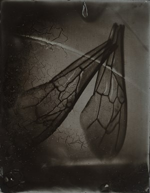 Bee Wing Morphology #1 by Anne Noble contemporary artwork