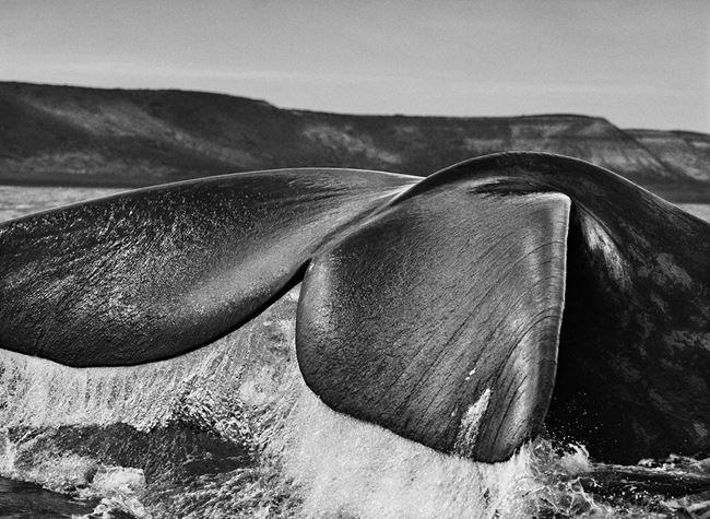 Southern Right Whale, Valdés Peninsula, Argentina by Sebastião Salgado contemporary artwork