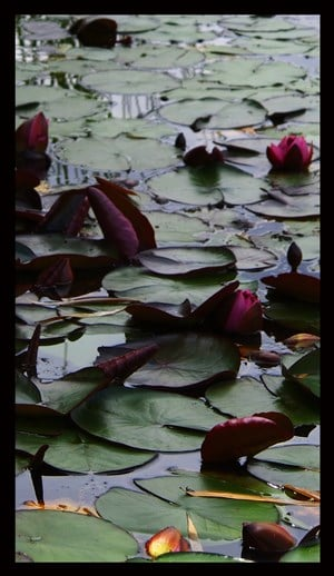 Dark lillies by Tim Maguire contemporary artwork