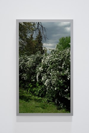 Spirea prunifolia, Bridal Wreath (Back and Forth Picture) by Scott McFarland contemporary artwork
