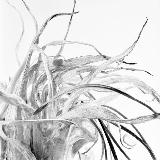 Tulip Leaves by Walter Schels contemporary artwork