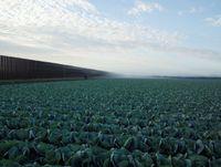 Cabbage Crop Near Brownsville, Texas by Richard Misrach contemporary artwork photography