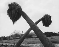 Dead palms, partially uprooted, Ontario, California by Robert Adams contemporary artwork photography