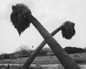 Dead palms, partially uprooted, Ontario, California by Robert Adams contemporary artwork