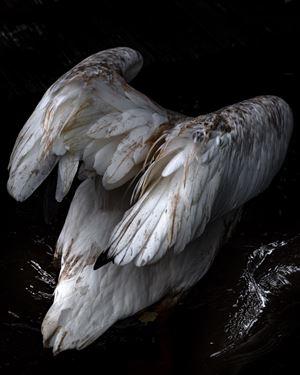 Diving Pelican by Anastasia Samoylova contemporary artwork