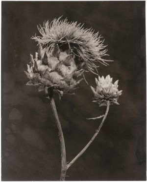 Cynara II by Walter Schels contemporary artwork photography