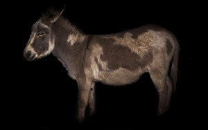 Day for night, Donkey by Greta Anderson contemporary artwork
