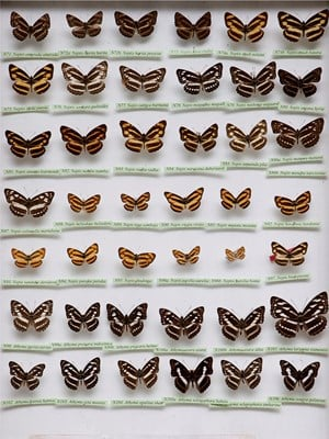 Butterfly Collection #2 by Krisada Suvichakonpong contemporary artwork