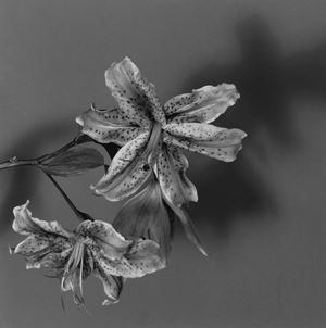 Lily by Robert Mapplethorpe contemporary artwork