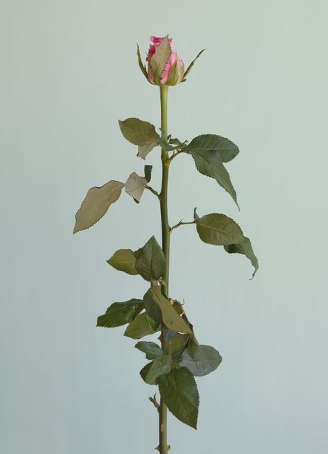 Untitled #05 from the series Rose is a rose is a rose by Heeseung Chung contemporary artwork