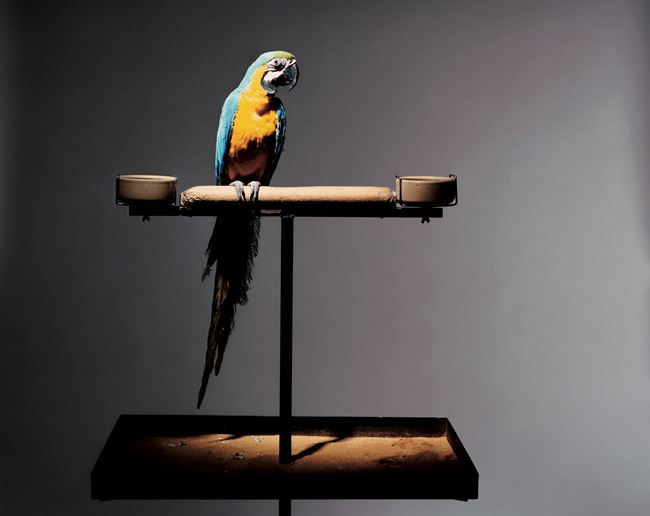 Portrait of the Artist as a Young Parrot by Olivier Richon contemporary artwork