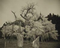 Kamanokoshisakura by Keiichi Ito contemporary artwork works on paper, photography