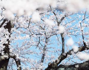 SAKURA, 07,S-54 by Risaku Suzuki contemporary artwork