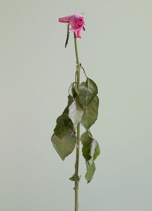 Untitled #10 from the series Rose is a rose is a rose by Heeseung Chung contemporary artwork