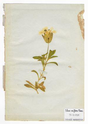The Extinct Flora in Spain (Sketches) 019. Silene uniflora thorei by Juan Zamora contemporary artwork