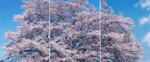 SAKURA 19,4-357, 358, 359 Triptych by Risaku Suzuki contemporary artwork
