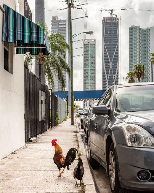 Chickens, Donwntown Miami by Anastasia Samoylova contemporary artwork