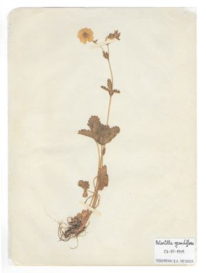 The Extinct Flora in Spain (Sketches) 016. Potentilla grandiflora by Juan Zamora contemporary artwork