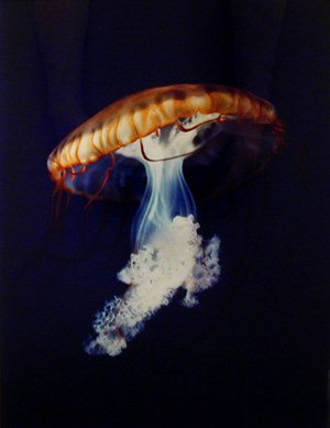 Pacific Sea Nettle Chrysaora Melanaster Long Beach, California October 18, 1998 by Christopher Williams contemporary artwork