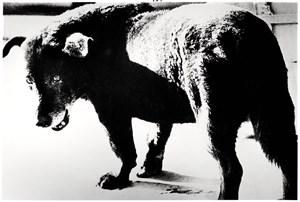 Stray Dog Misawa by Daido Moriyama contemporary artwork